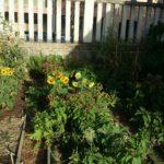 L'orto scolastico alla Primaria di Meldola ... sopravviverà? 3