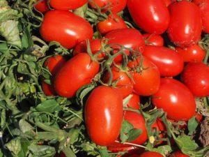 Ordine pomodori da salsa LA LENTICCHIA 1