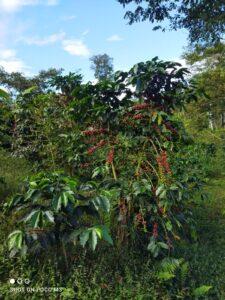 Caffè sulla pianta 3