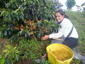 Coltivatori caffè raccolta 3